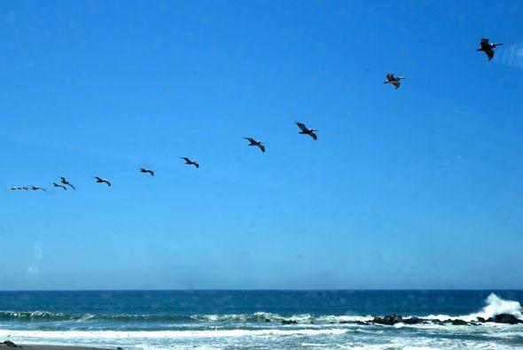 DSC02107 pelicans