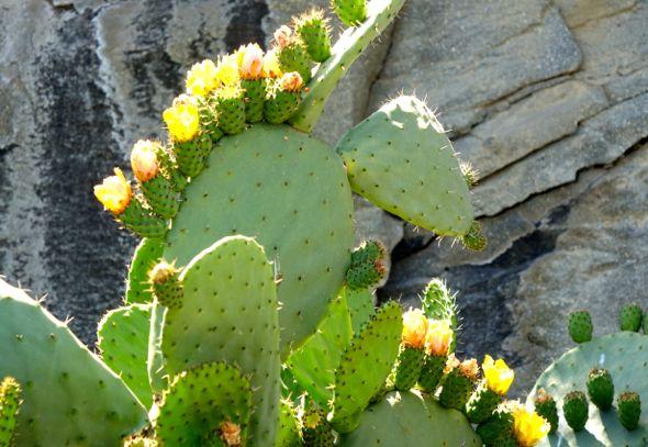 DSC02143 cactus flowers