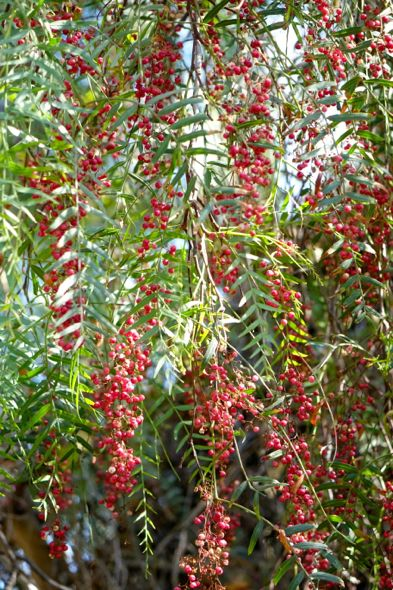 DSC02769 pepper berries