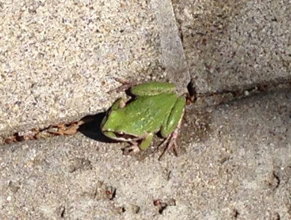 IMG_4008  green frog